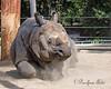 Asian Rhinoceros - male (aka Greater One-horned Rhinoceros)