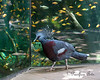 A Victoria Crowned Pigeon strutting its stuff.