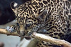 Baby Jaguar, Valerio, chewing on a stick.  Must have lots of teeth growing in!