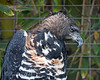 African Crowned Eagle.  You can just see the crest laying down on the back of his head.  These large birds are magnificent!