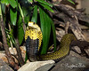 Samar Cobra - Awesome looking snake!
