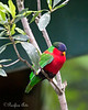 Collared Lory in the Aviary