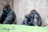 Western Lowland Gorilla Family Group - San Diego Zoo Safari Park