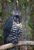African Crowned Eagle (with crest down)
