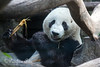 "Giant Panda, ""Mr. Wu"""