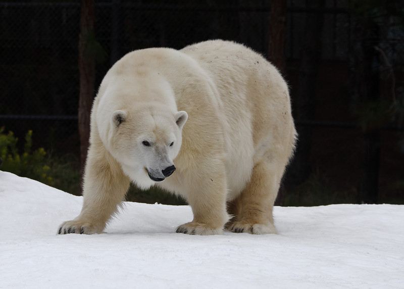 """Snow Day"" for the Polar Bears - Female Chinook."