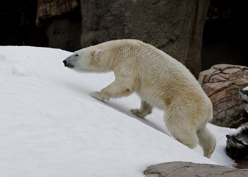 """Snow Day"" for the Polar Bears - Female Tatqiq."