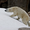 """Snow Day"" for the Polar Bears - Female Tatqiq."