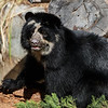 ALBA, A 1½ YR OLD FEMALE ANDEAN BEAR