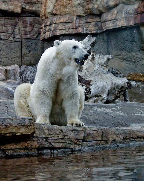 Polar Bear, female Chinook