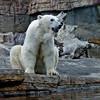 Polar Bear, female Chinook