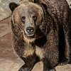 MALE GRIZZLY BEAR<br /> MONTANA