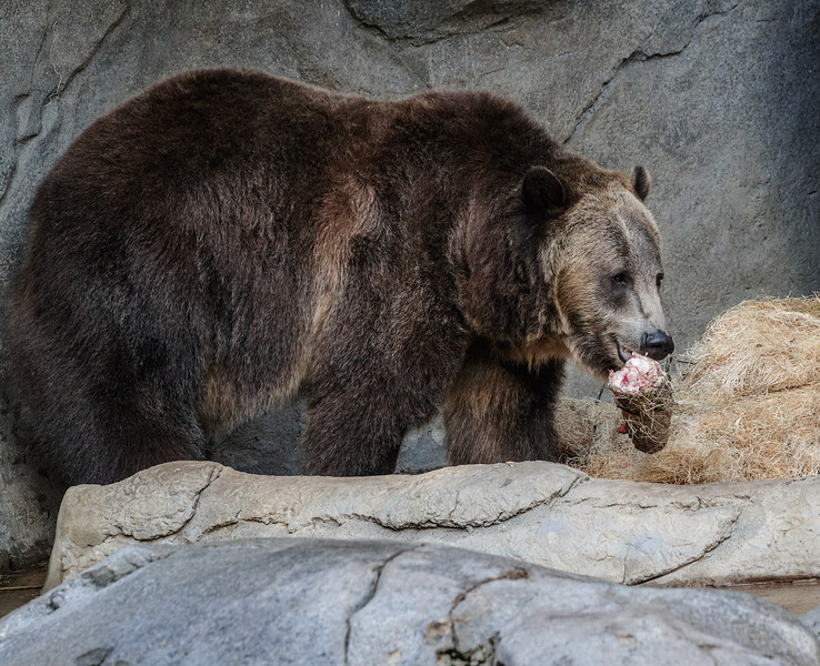 9 YEAR OLD MALE GRIZZLY BEAR MONTANA