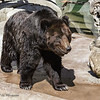 MANCHURIAN BROWN BEAR<br /> Blackie, a 28 year-old male.