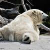 Chinook, a female Polar Bear