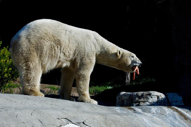 POLAR BEAR<br /> male Kalluk