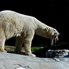 POLAR BEAR<br /> male Kalluk