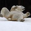 """Snow Day"" for the Polar Bears - Female Tatqiq"