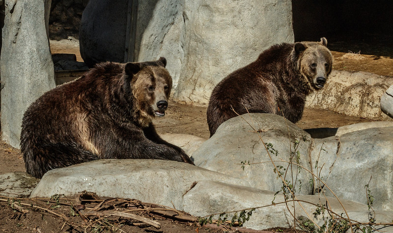 GRIZZLY BEARS<br /> MONTANA (l), SCOUT (r)