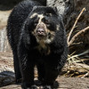 ALBA, A 1½ YR OLD FEMALE ANDEAN BEAR.