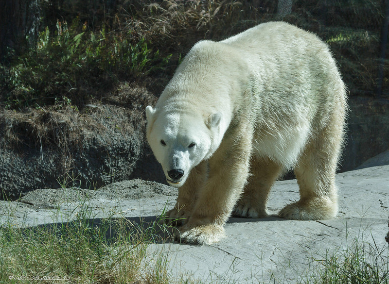 FEMALE POLAR BEAR - TATQIQ