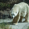 FEMALE POLAR BEAR - TATQIQ