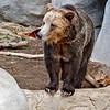 "Grizzly Bear, male ""Montana"""