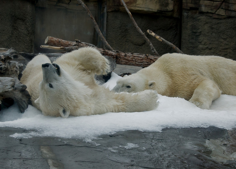 """Snow Day"" for the Polar Bears - Female Chinook (L), male Kalluk (R)."