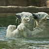 Polar Bears Chinook and Tatqiq at play in the pool