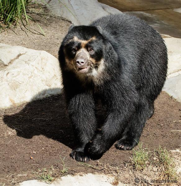 ANDEAN BEAR<br /> TURBO