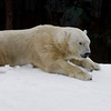 """Snow Day"" for the Polar Bears - male Kalluk."