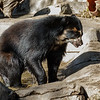 TURBO, A MALE ANDEAN BEAR.