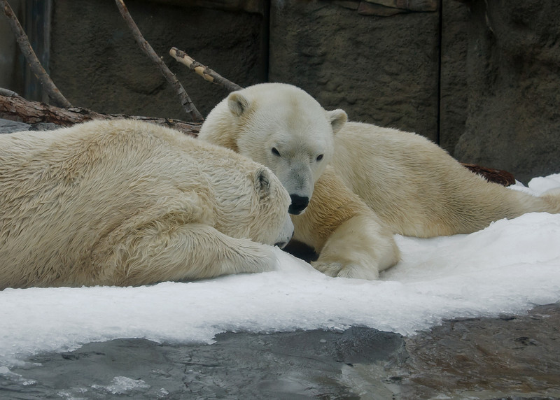 """Snow Day"" for the Polar Bears - Female Chinook (L), male Kalluk (R)."