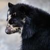 FEMALE ANDEAN BEAR ALBA.