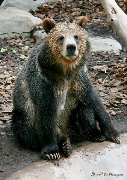"Male Grizzly Bear ""Montana"""