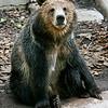 "Male Grizzly Bear ""Montana"""