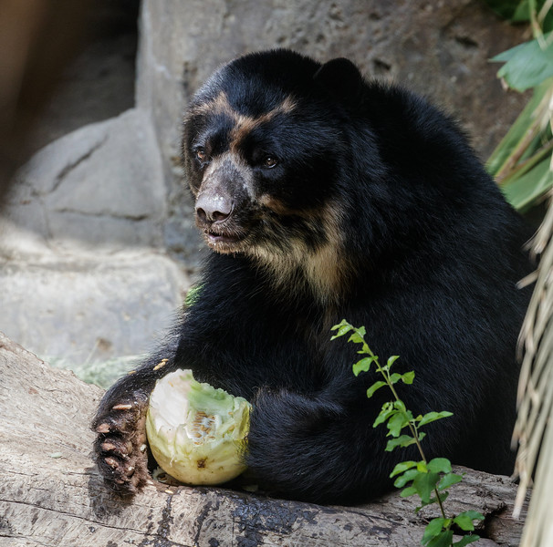 TURBO THE MALE ANDEAN BEAR.