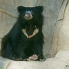 Bhutan, an 8 year-old male Sloth Bear