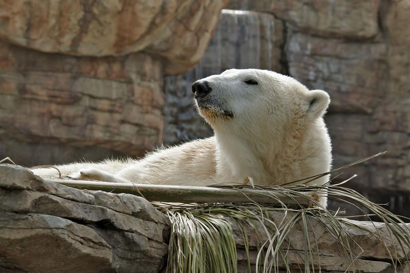 Polar Bear, Tatqiq a female