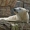 Polar Bear, Tatqiq a female