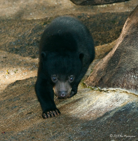 Bornean Sun Bear cub born Oct 25, 2008.