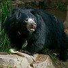"Female Sloth Bear ""Keesha"""