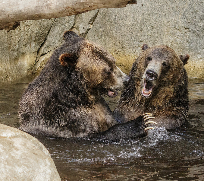 GRIZZLY BEAR BROTHERS SCOUT AND MONTANA