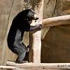 Bulan, a juvenile female Bornean Sun Bear (born 9/23/06).