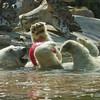 Kalluk, a male Polar Bear