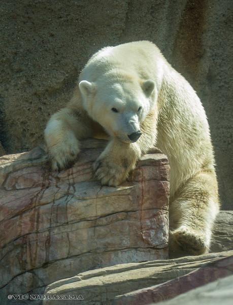 FEMALE POLAR BEAR, TATQIQ