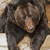 MANCHURIAN BROWN BEAR<br /> Blackie, a 29 year-old male.