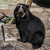 ALBA, A 1½ YR OLD FEMALE ANDEAN BEAR.
