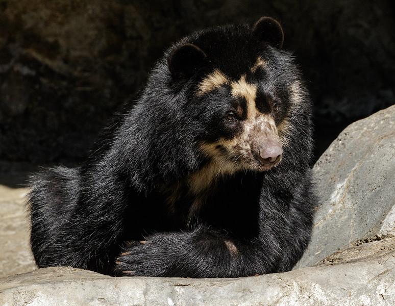 ALBA, A FEMALE ANDEAN BEAR