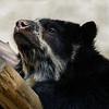FEMALE ANDEAN BEAR ALBA